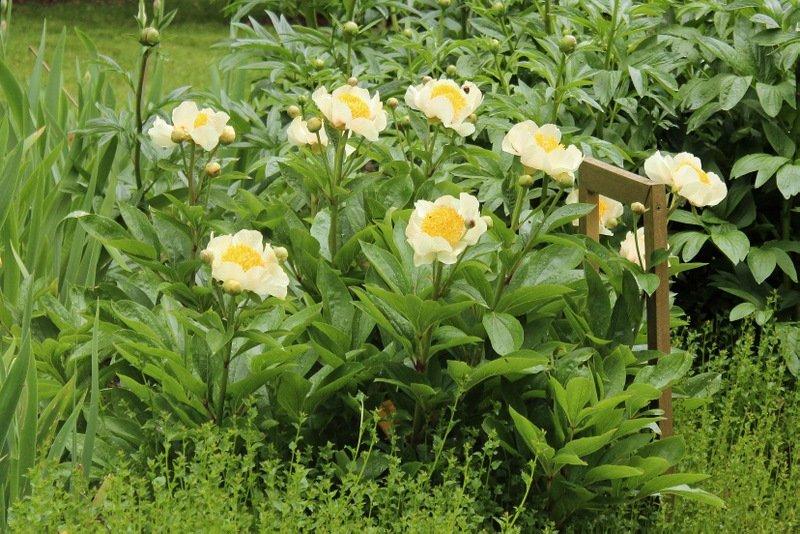 Paeonia-lactiflora-Claire-de-Lune-3