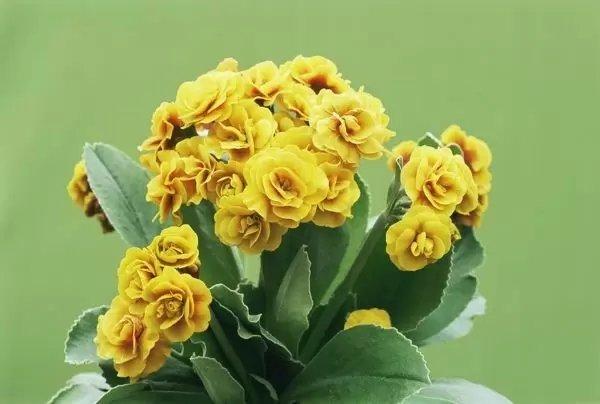 Primula-auricula-Golden-Hind-2