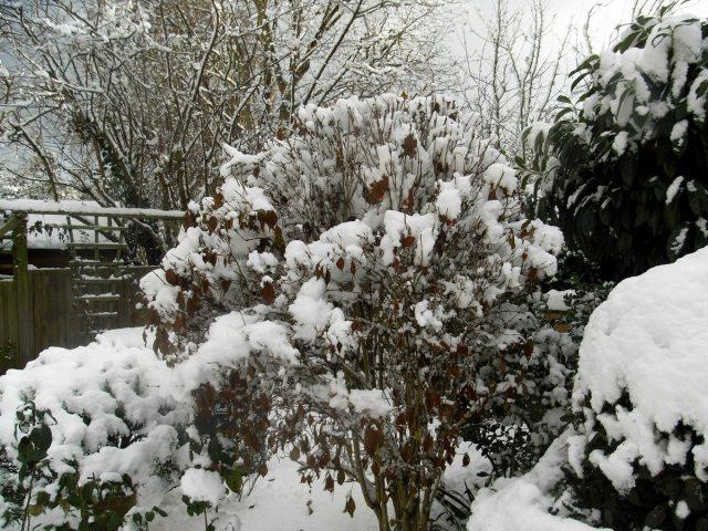 Гуляя по саду в январе, проверяйте, не нужно ли помочь растениям