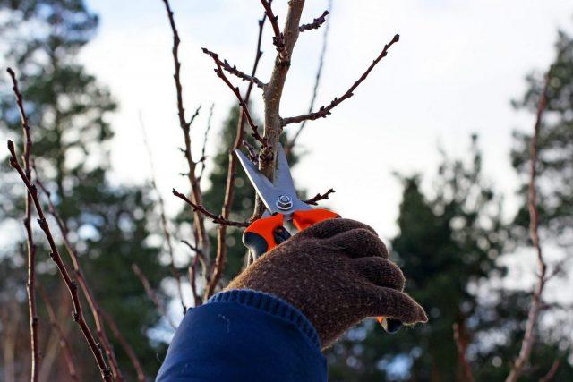 В регионах с оттепелями в январе можно заниматься некоторыми трудоёмкими садовыми делами, например, обрезать деревья и кустарники