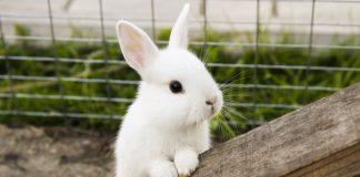 Декоративный кролик — плюсы и минусы домашнего питомца