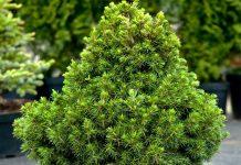 Ель «Томпа» (Picea abies 'Tompa')