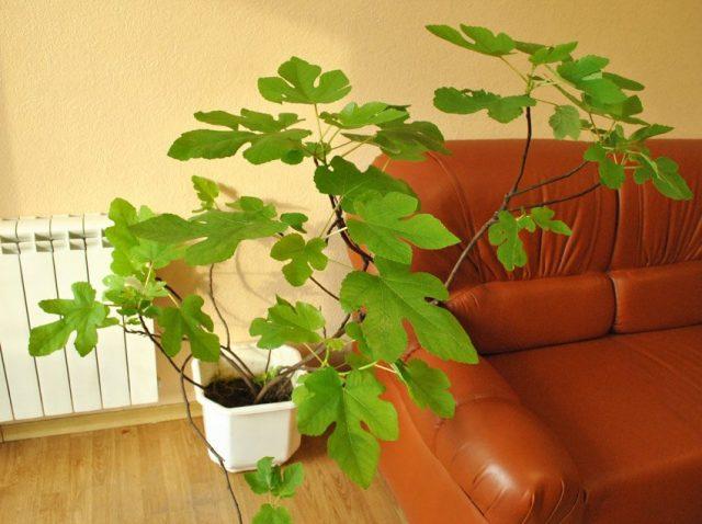 Инжир, винная ягода, или Фикус карика (Ficus carica)
