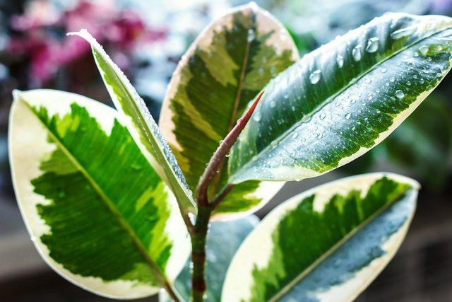 Фикус каучуконосный, или эластичный (Ficus elastica)