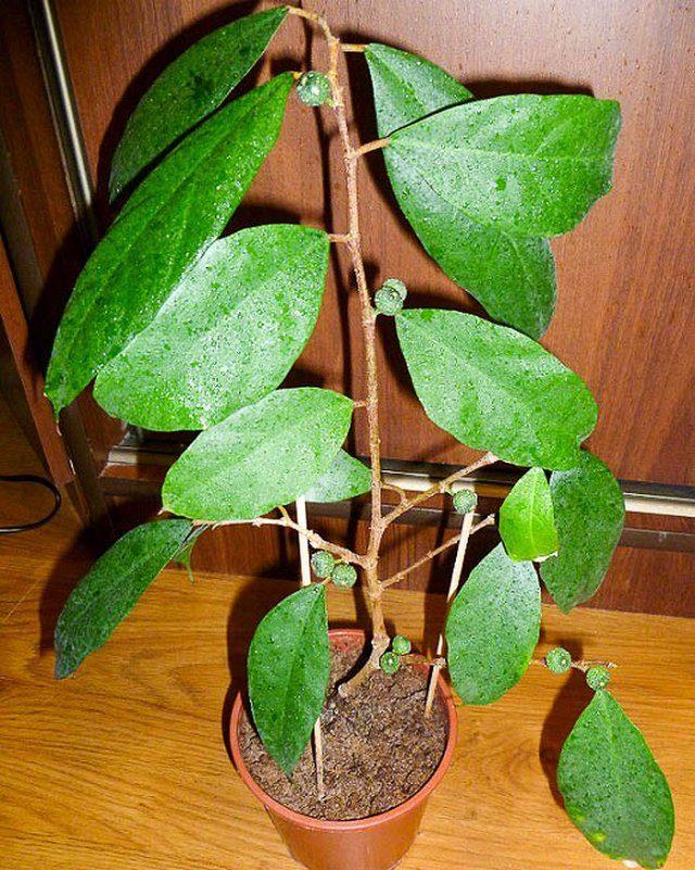 Фикус постенный (Ficus parietalis)