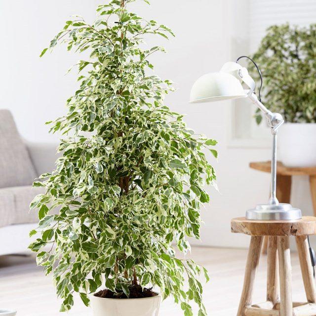 Фикус Бенджамина (Ficus benjamina)