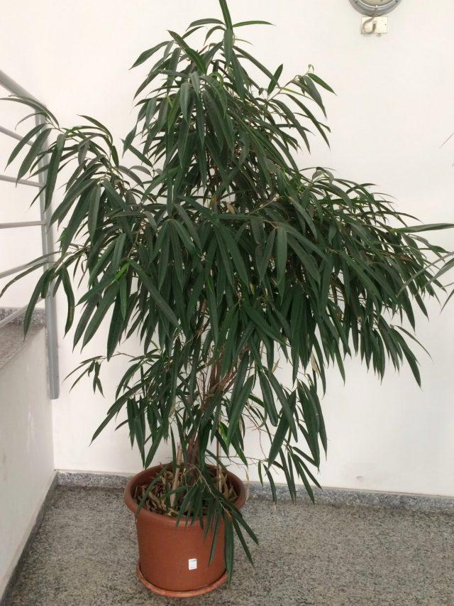 Фикус биннендийка, или Иволистный (Ficus binnendijkii)