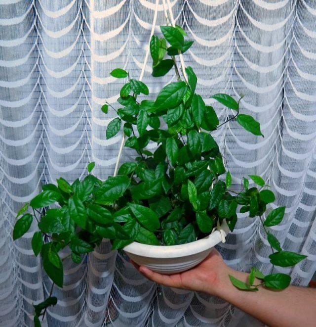 Фикус стреловидный (Ficus sagittata), или Фикус укореняющийся (Ficus radicans)