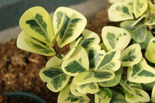Фикус натальский (Ficus natalensis), или Фикус треугольный (Ficus triangularis)