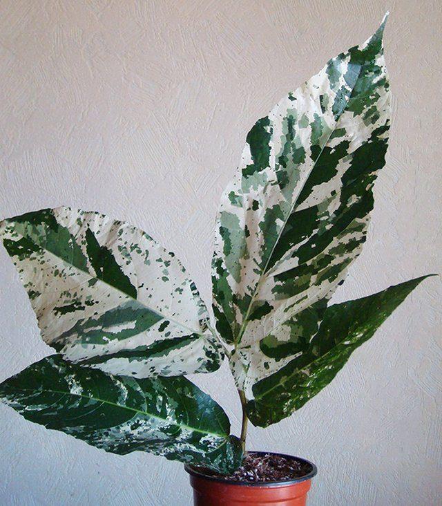 Фикус шершавый (Ficus aspera)