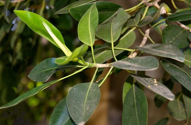 Фикус равнолистный (Ficus rubiginosa)