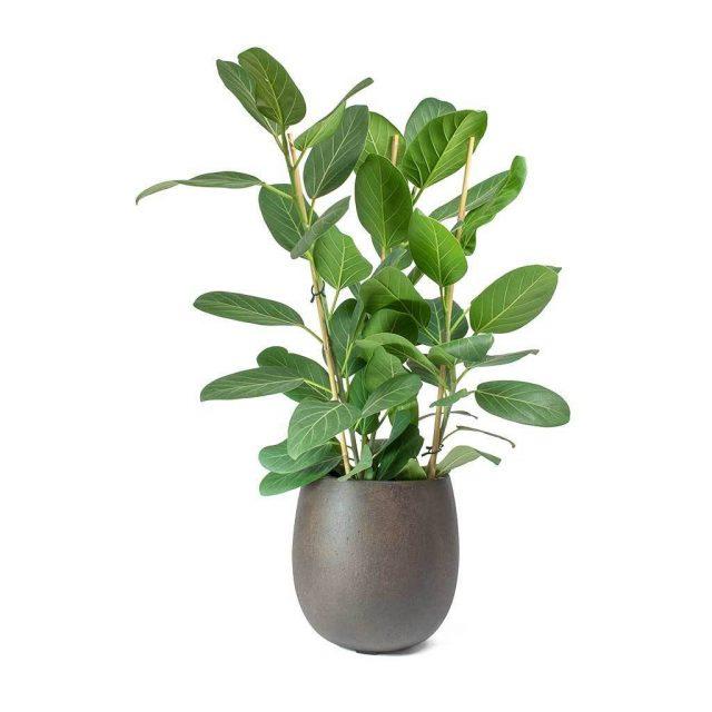 Фикус бенгальский, или Баньян (Ficus benghalensis)