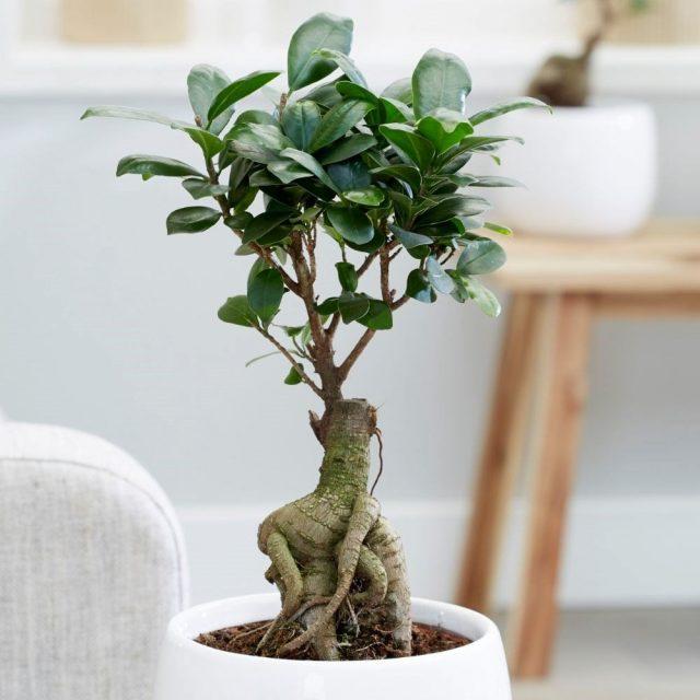 Фикус мелкоплодный (Ficus microcarpa)