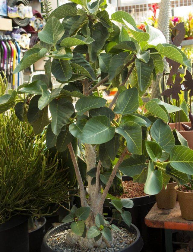 Фикус Палмера (Ficus palmeri)