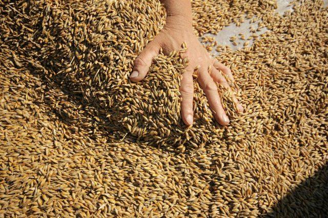 Зерно для поросят рекомендуется обжарить, так оно и вкуснее, и полезнее