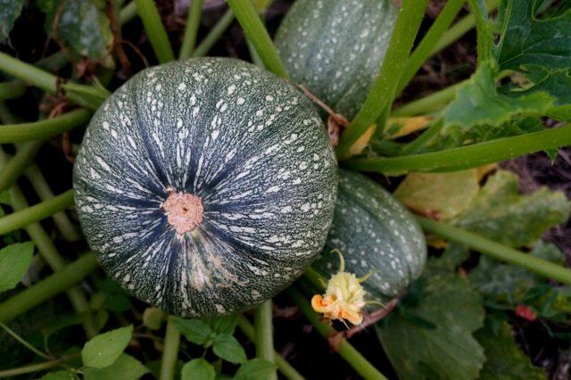 По характеру роста большинство сортов круглых кабачков кустового типа, и относятся к цуккини