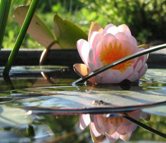 Мини-водоём для нимфеи — это просто
