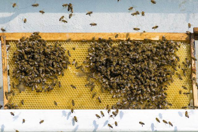 Если поставить соты с медом неподалёку от уликов, налетят и осы, и шершни, и чужие пчёлы