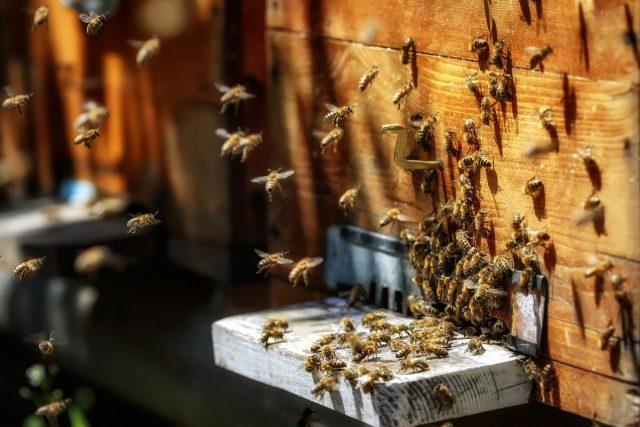 Начало военных действий издалека выглядело как осада – много пчёл кружилось над ульями, пчёлы ползали по стенкам улья, пытаясь проникнуть внутрь