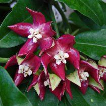 Хойя величественная (Hoya imperialis)