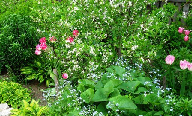 Самые морозостойкие весенние многолетники в моём саду