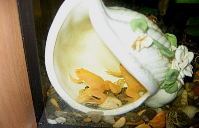 Мои лягушата очень любили отдыхать внутри декоративной ракушки