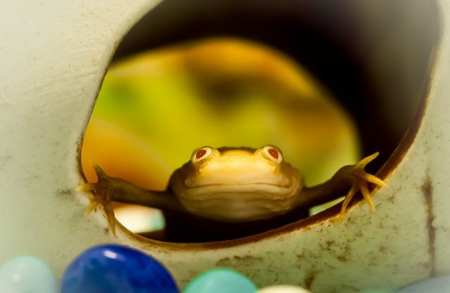 Благодаря телесному цвету кожи и анатомическим особенностям, шпорцевые лягушата отдаленно напоминают маленьких человечков или инопланетян-гуманоидов