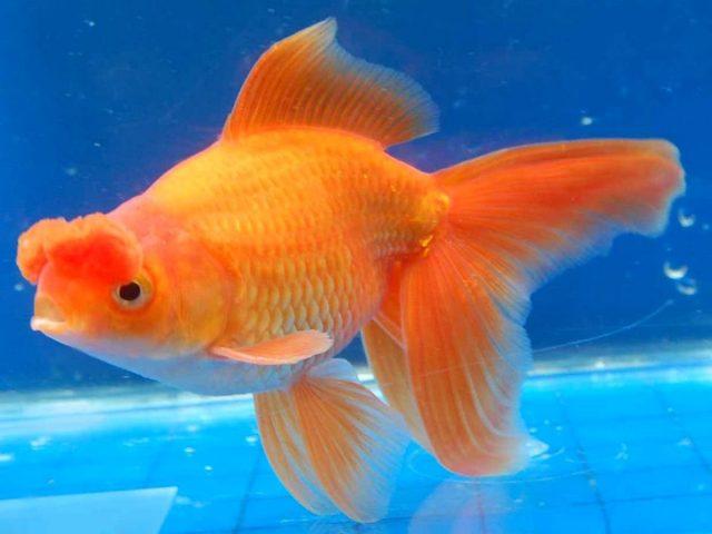 Самая главная отличительная черта золотой рыбки «Помпон» — это мясистые носовые отростки