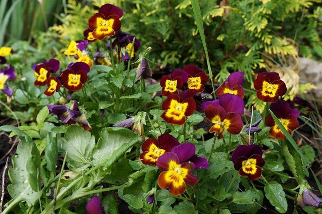 Виола рогатая (Viola cornuta)