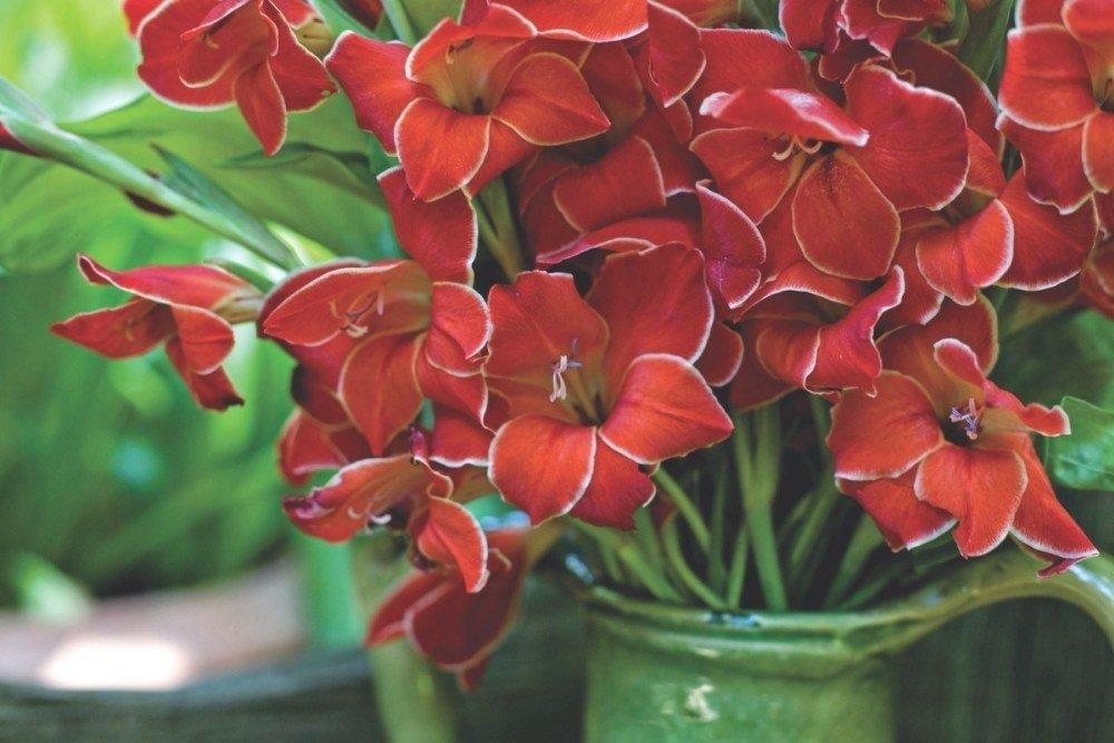 Gladiolus-Atom-1