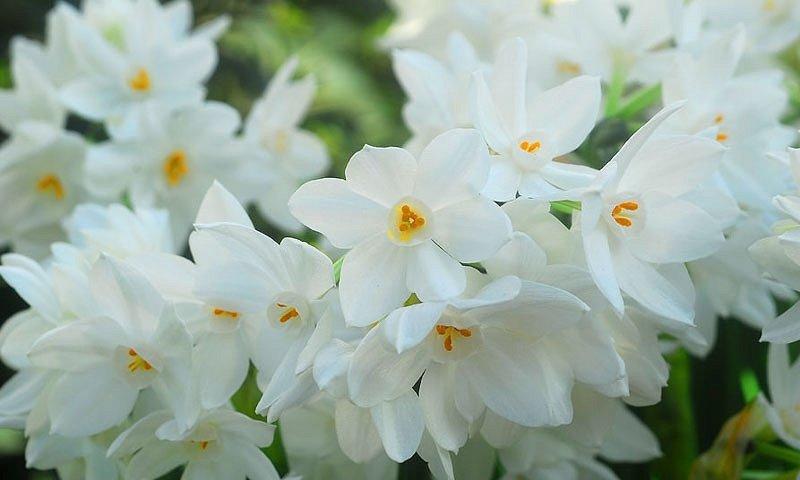 Narcissus-Ariel-1