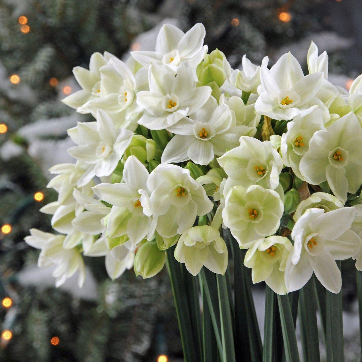 Narcissus-Ariel-2