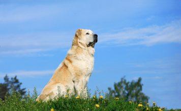 Почему алабай — идеальная собака для загородной жизни?
