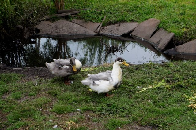 Черно-белые утки муларды оказались более сложными в содержании
