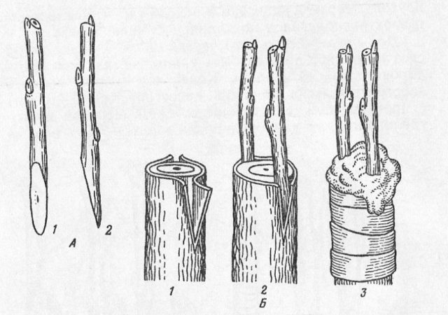 Рис. 1. Техника прививки