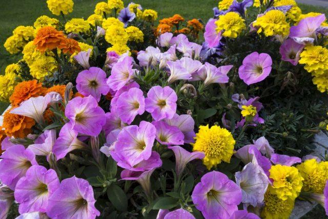 Профессиональные семена однолетних цветов для цветоводов-любителей
