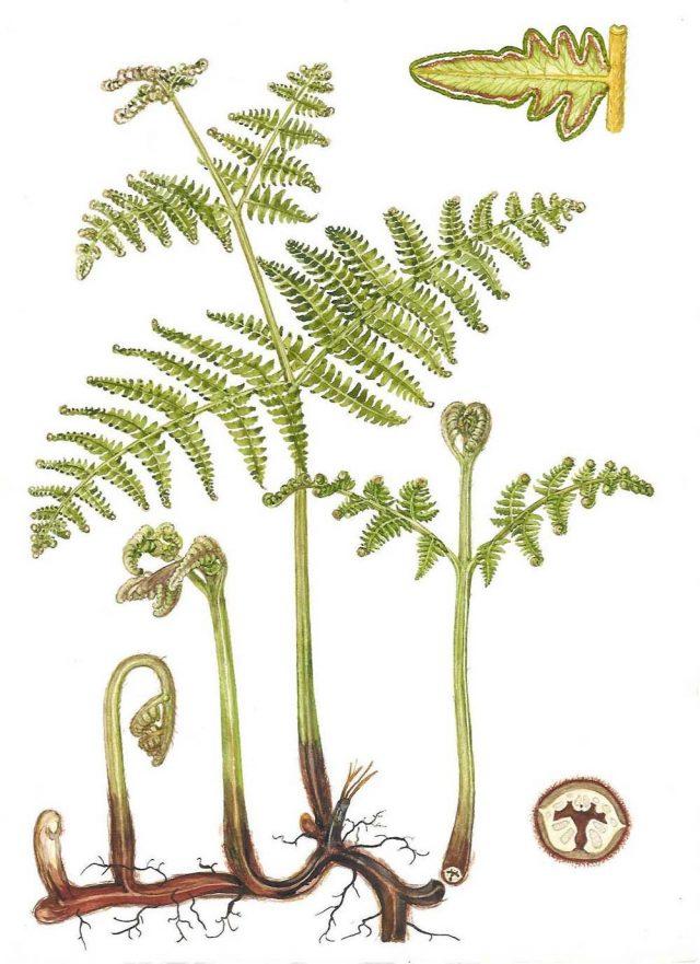 Орляк обыкновенный (Pteridium aquilinum)
