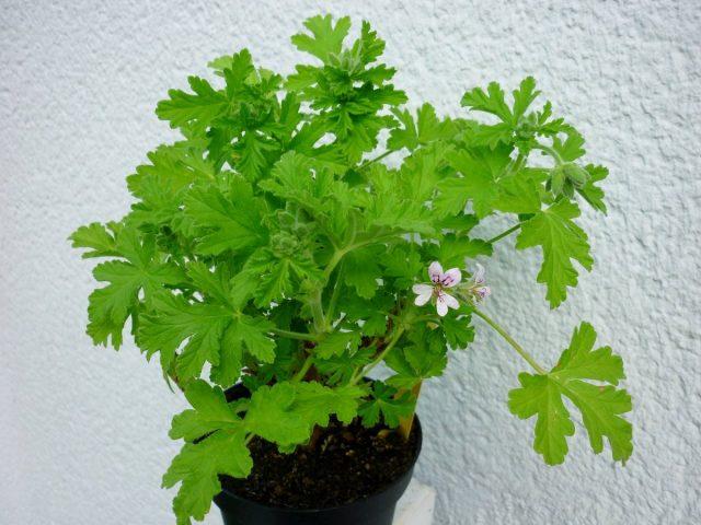 Пеларгония душистая (Pelargonium graveolens)