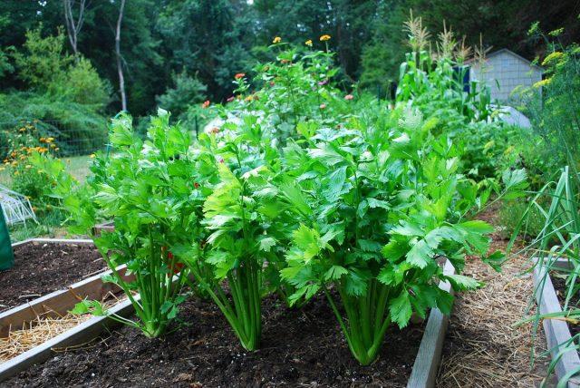 Сельдерей — главный овощ января