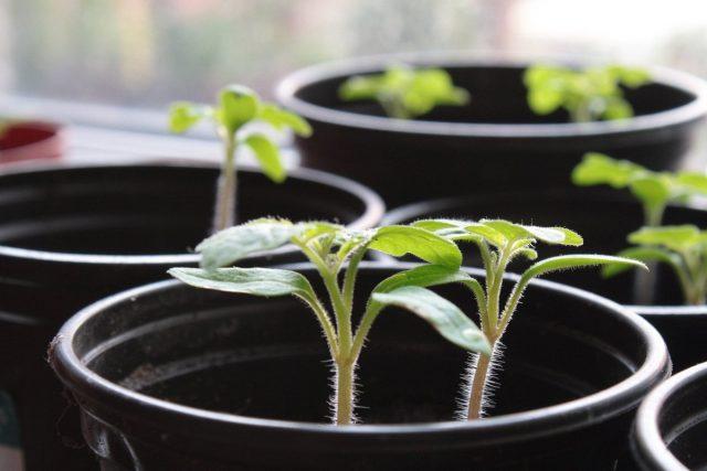 Томаты чаще всего начинают высевать именно в феврале