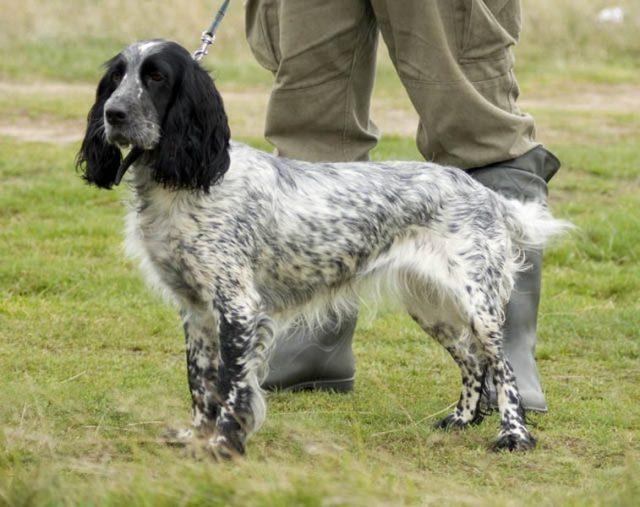 Русский спаниель — это относительно маленькая собака с ростом в холке 38-45 см и весом 13-16 кг
