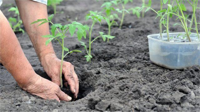 От того, какая разовьется рассада, будет зависеть иммунитет взрослого растения и урожай