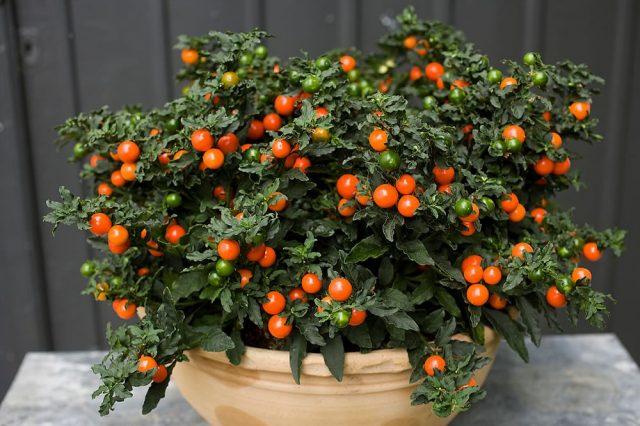 Паслен ложноперечный (Solanum pseudocapsicum)
