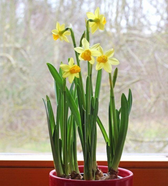 Дольше и краше цветут те луковичные на выгонке, которые содержат в прохладе (не выше 23 градусов)