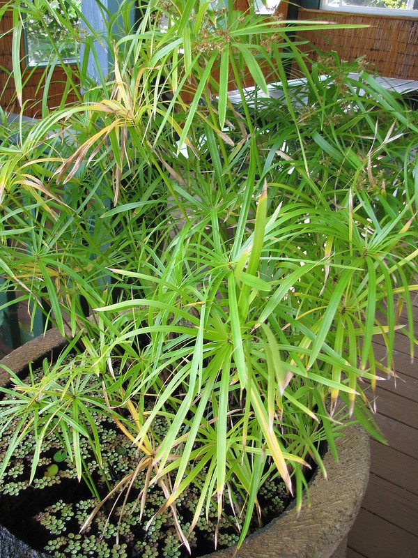 Циперус оберточный (Cyperus involucratus)