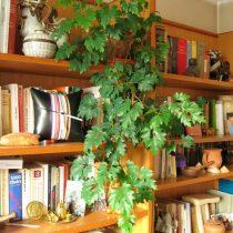 Циссус ромболистный, или Ромбический (Cissus rhombifolia)