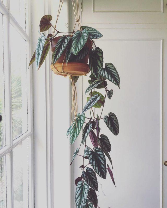 Циссус (Cissus) в комнатной культуре популярен уже много-много лет, несмотря на большое число ярких конкурентов