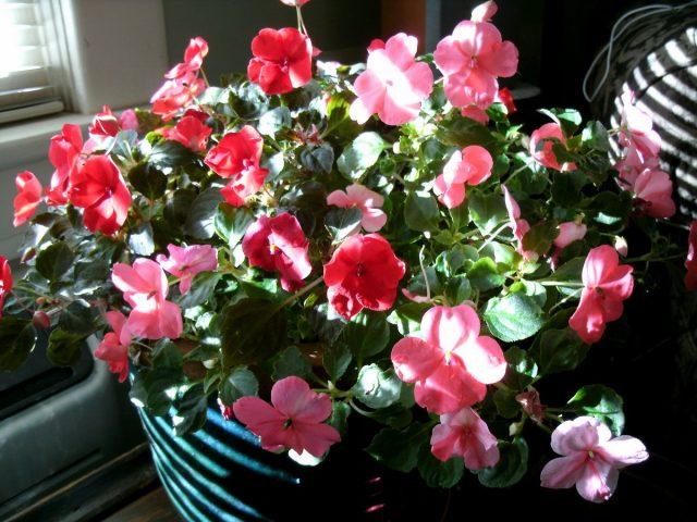 Бальзамины опрыскивают только теплой водой, если растение цветет — аккуратно и только по листьям