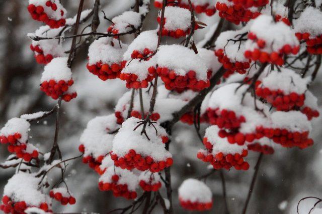 Рябина (Sorbus)