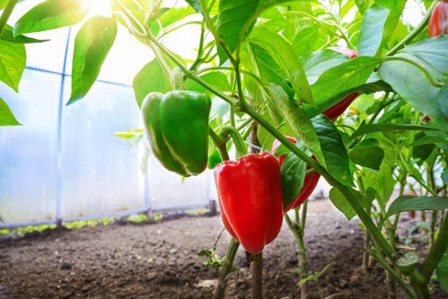 Как улучшить цветение и плодоношение перцев?